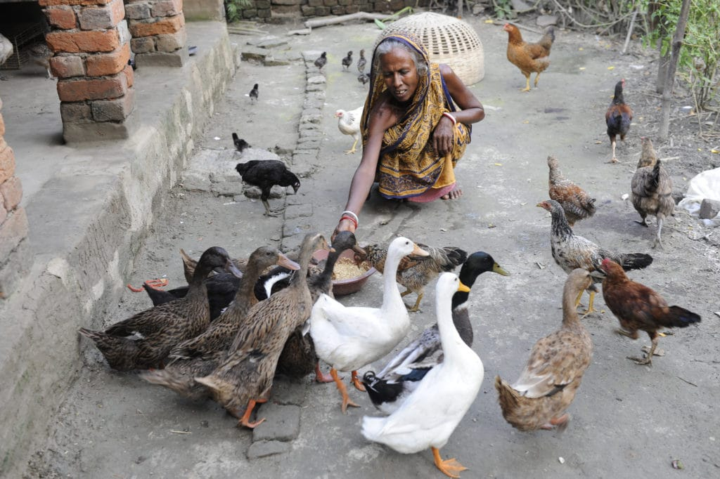 With DFID's help, grandmother Pagli Mallik, from the village of Khushkhali, has now started supporting her family by breeding ducks as well as chickens – ducks are far less prone to water-borne diseases and are able to swim when the floods come.